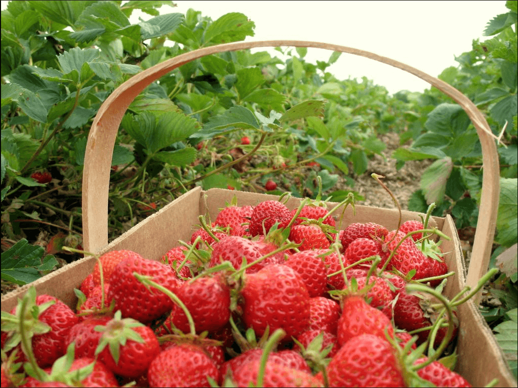 Baldwin County's fabulous Strawberry Fest turns 27