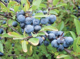 "Substitute sloes (above) with    cherries or blueberries to make ""sloe gin,"" slowly, at home."