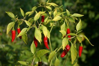 Cayenne pepper is hot enough for most applications.