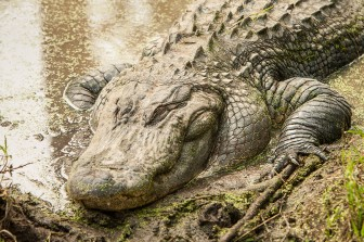 Registration is open through July 14 to apply for the 2015 alligator hunting season.
