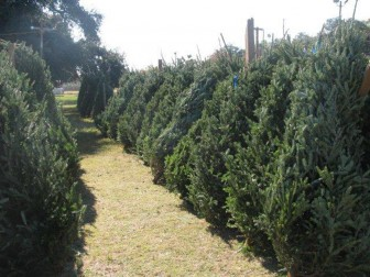 (Photo/ Mobile Optimist Club) The Mobile Optimist Club's traditional Christmas tree lot on Virginia Street typically offers a large variety.