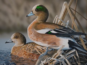 (Photo/Courtesy of Alabama Department of Conservation and Natural Resources) Jim Denney of Alexander City won last year's Alabama Waterfowl Stamp Art Contest with this painting of an American Wigeon. The artwork will appear during the 2016-17 season.