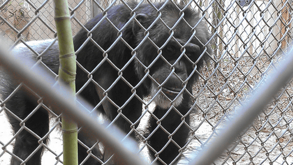 PETA sues Mobile Zoo over chimpanzee conditions