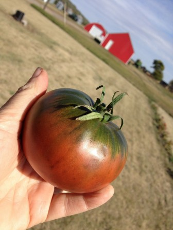 (Photo | flickr.com/wikipedia.org) Tomato varieties such as Cherokee Purple (above) and Juliet are prolific and tolerant of the Gulf Coast's heat and humidity.