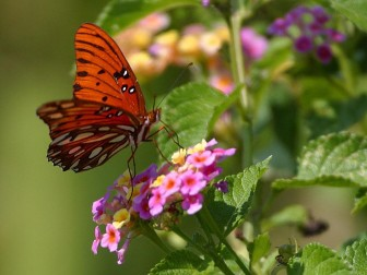 (Photo | Courtest of ACES) Lantana and milkweed are among flowering shrubs or plants which attract butterfly species such as Gulf Frittilary and Monarch.