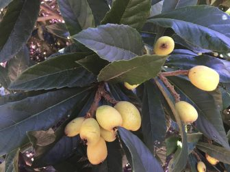 (Photo | Courtesy of Nancy Adams) The loquat, also known as a Japanese medlar, Chinese plum and Japanese plum, is a small, pear-shaped, yellow or orange fruit that tastes like a mixture of peach, orange and mango.
