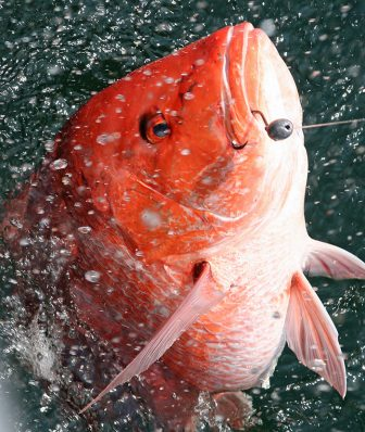 (Photo | Photo courtesy of David Rainer/Alabama Department of Conservation and Natural Resources) Some state officials say the short private recreational red snapper seasons have led to an abundance of large fish in Alabama's artificial reef zones.
