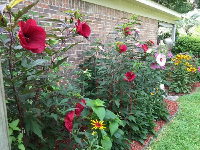 Have You Tried Growing A Hardy Hibiscus Lagniappe Mobile