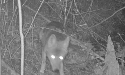 Police blame coyotes for missing pets