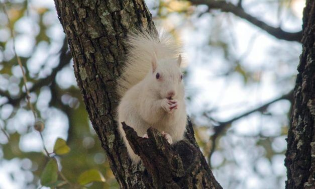 CONTEST: Name the white squirrel of Spanish Plaza