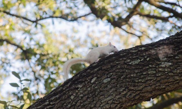 FINALS: Name the white squirrel of Spanish Plaza