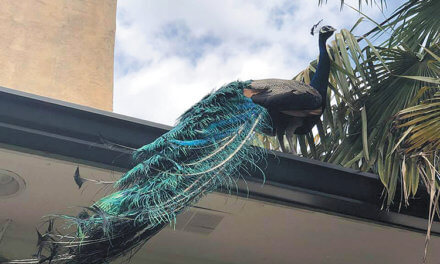 Feathers getting ruffled in Spring Hill