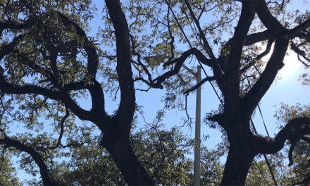 Council denies live oak appeal following compromise