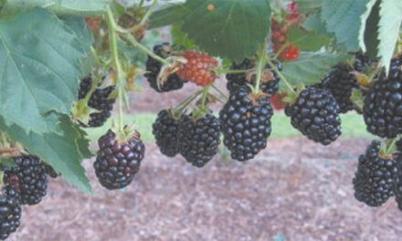 Grow your own berries in coastal Alabama