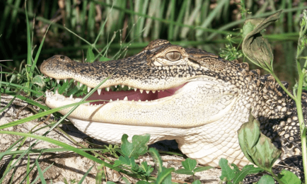Alabama hunters chomping to start 14th annual alligator hunt