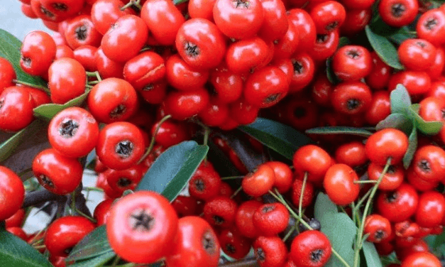 So Much to Like About Pyracantha!