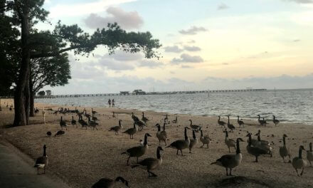 Fairhope urging public compliance with Canada goose plan