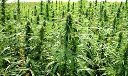 Smokable hemp growing as a popular option among new farmers