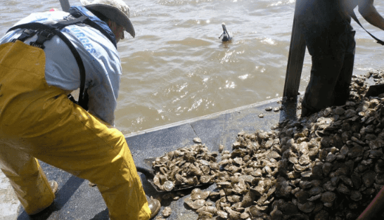 Oystermen see largest harvest in years, but concerns linger