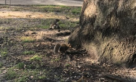 City prices Bienville squirrel removal, plans to take down more trees