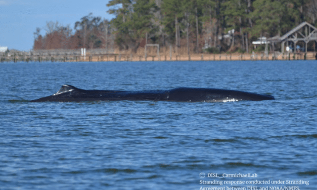 Sperm whale stuck in Mobile Bay euthanized