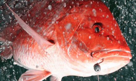 Red snapper season opens for Alabama waters this Friday